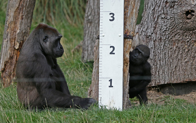 Gorillas sit next to a ruler during a photocall for the annual weigh-in at London Zoo in London, Britain August 24, 2017. (Photo by Neil Hall/Reuters)
