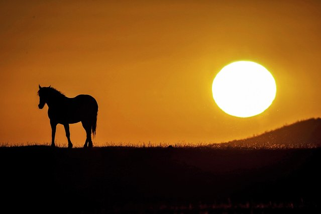 A pony trots into the sunset after grazing on the marshes at Crofty on the Gower peninsula in South Wales, England on July 19, 2020. (Photo by Joann Randles/Cover Images)