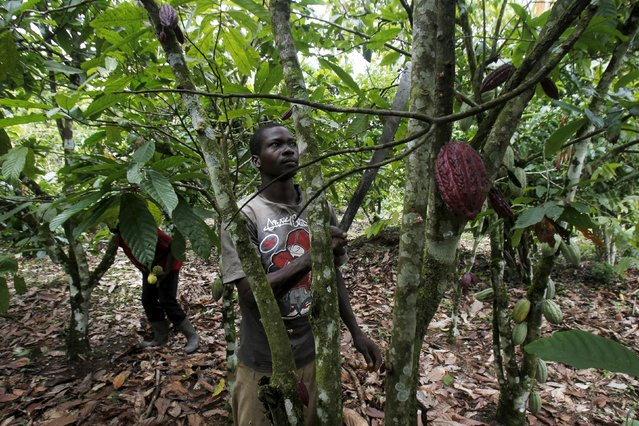 A farmer works on a cocoa plantation in the protected Gouin-Debe forest in Blolequin department, western Ivory Coast August 17, 2015. (Photo by Luc Gnago/Reuters)