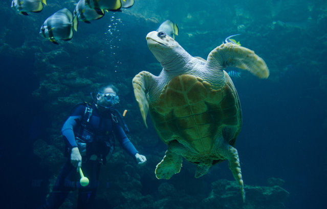The 'birthday girl', a female loggerhead turtle (Caretta caretta) swims past a diver in the 350,000-litre turtle aquarium at the marine museum in Stralsund, Germany, October 20, 2015. The turtle celebrated her 50th birthday today, with a cake made of salad, squid and pollack. (Photo by Stefan Sauer/EPA)