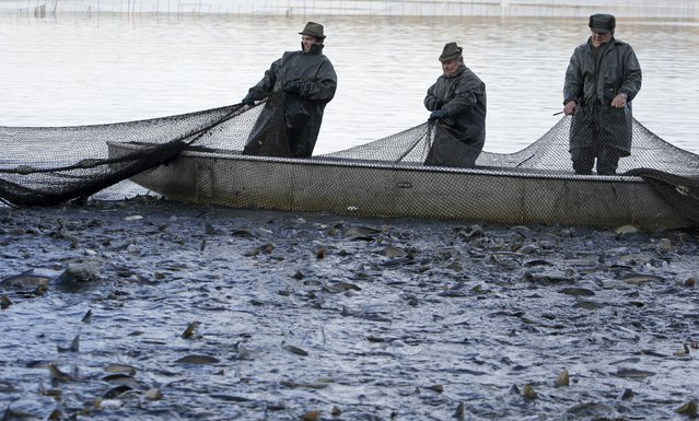 Fishermen pull a net containing fish from a pond during the traditional carp haul in the village of Smrzov, near the south Bohemian town of Trebon, Czech Republic, November 2, 2015. (Photo by David W. Cerny/Reuters)