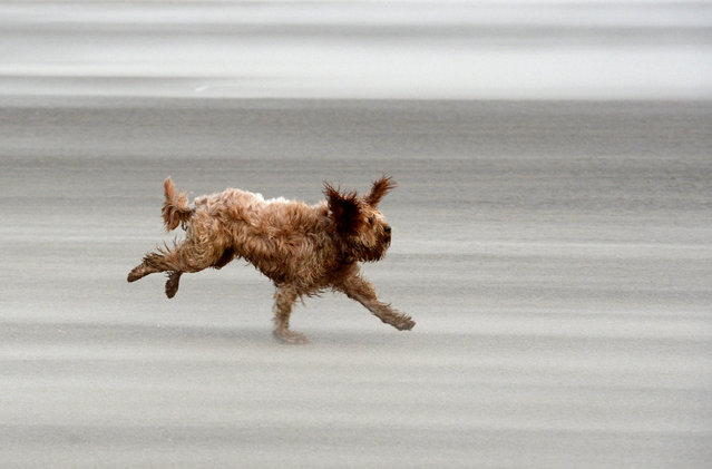 A dog named Ted runs along the beach on December 10, 2014 in Blackpool, United Kingdom. High winds and large waves hit the North West Coast of the UK and Northern Ireland today. (Photo by Nigel Roddis/Getty Images)