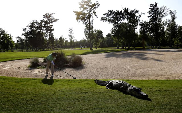 A worker grooms away tracks after an alligator crossed through a sand trap on the 14th hole during the first round of the PGA Tour Zurich Classic tournament at TPC Louisiana in Avondale, Louisiana, on April 25, 2013. (Photo by Gerald Herbert/Associated Press)