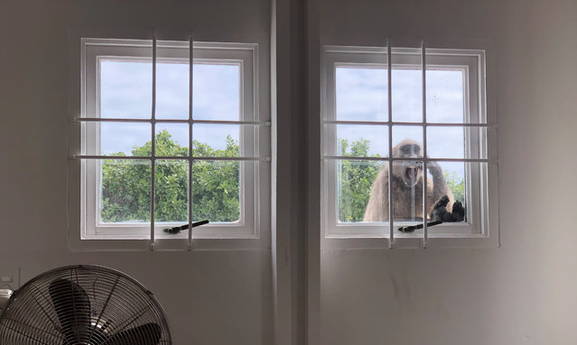 A female chacma baboon pays a visit to a house in Cape Town, South Africa. This picture is one of the photographs of wildlife through the window by Guardian readers during lockdown, in April 2020. (Photo  byKarien van der Westhuizen/Guardian Community)
