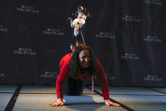 Hailey, a mixed Boston Terrier and Beagle breed, performs a trick with its owner Karen Profenna during a press conference for the upcoming 139th Annual Westminster Kennel Club Dog Show in New York January 21, 2015. (Photo by Shannon Stapleton/Reuters)