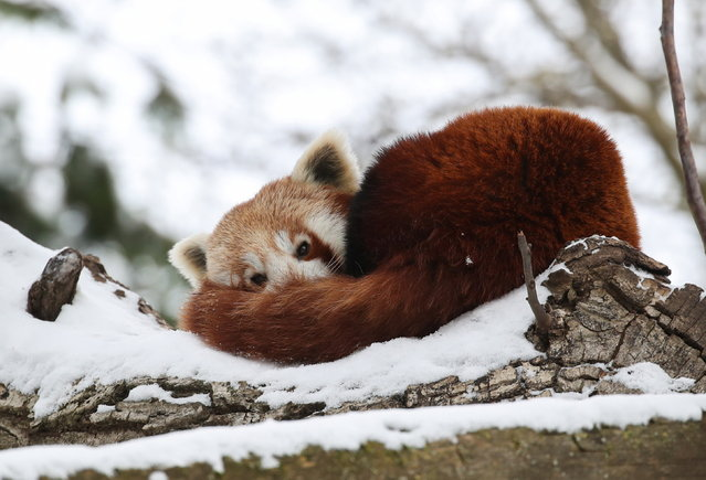 A red panda rests on on a snow-covered tree at Pairi Daiza zoo in Brugelette, Belgium, February 9, 2021. (Photo by Yves Herman/Reuters)