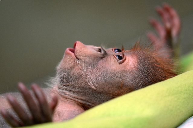 Female orangutan baby  Rieke is shown during a news conference at the Berlin Zoo Friday February 6, 2015. (Photo by Ralf Hirschberger/AP Photo/DPA)