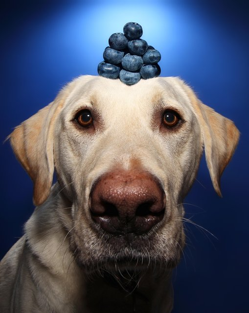 Winston with blueberries on his head during one of his portraits. (Photo by Scott Cromwell/Caters News)