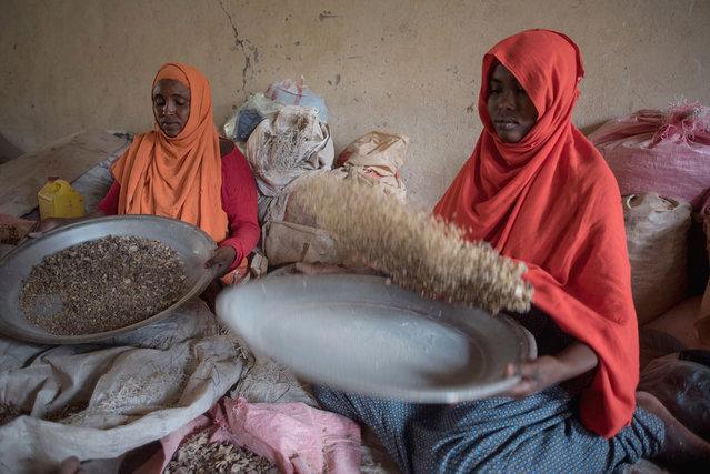 Women sort raw frankincense gum in Burao, Somaliland, a breakaway region of Somalia on August 6, 2016. (Photo by Jason Patinkin/AP Photo)