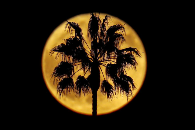 A full moon rises past a palm tree in Encinitas, California on October 25, 2018. (Photo by Mike Blake/Reuters)