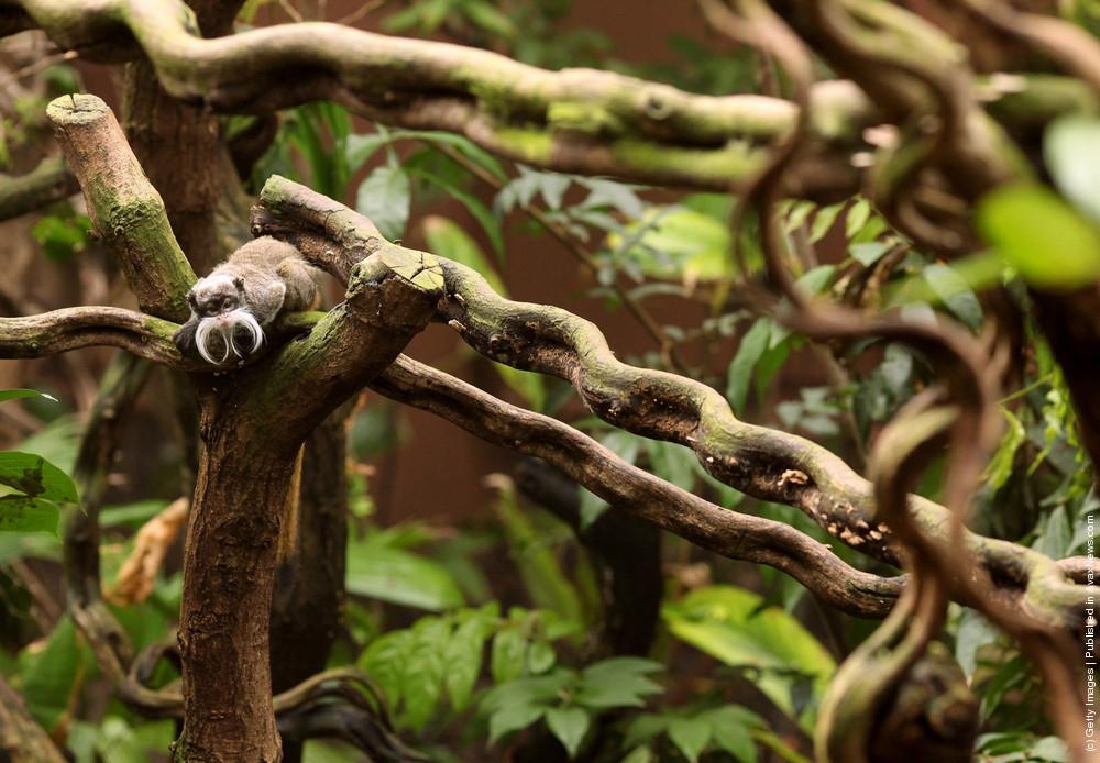 Emperor Tamarin Monkeys