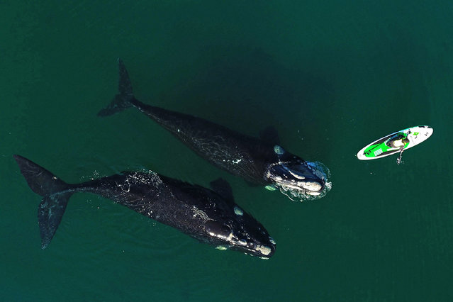 Photo released by Telam news agency of an aerial view of southern right whales (Eubalaena australis) swimming near a man practicing standup paddleboarding in Nuevo Gulf, off the coast of Puerto Madryn, Chubut province, Argentina, on August 31, 2021. (Photo by Maxi Jonas/TELAM/AFP Photo)