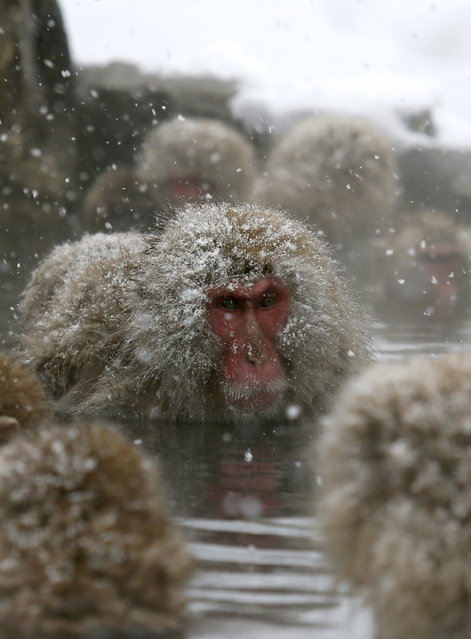 Japanese Macaque monkeys soak in the warmth of mountain hotsprings at Jigokudani Monkey Park, in Yamanouchi, central Japan, 19 January 2014. (Photo by Kimimasa Mayama/EPA)