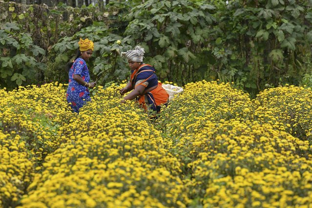 Farmers harvest chrysanthemum flowers from a field on the outskirts of Bangalore on October 5, 2021. (Photo by Manjunath Kiran/AFP Photo)