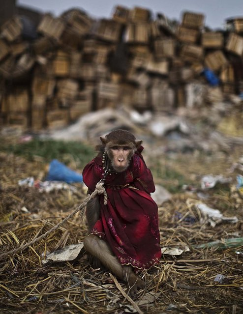 A trained monkey sits held by a leash on the outskirts of Rawalpindi. (Photo by Muhammed Muheisen/Associated Press)