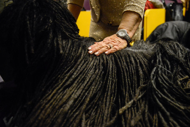 An owner pets her Puli backstage at the 141st Westminster Kennel Club Dog Show, in New York City, U.S. February 13, 2017. (Photo by Stephanie Keith/Reuters)
