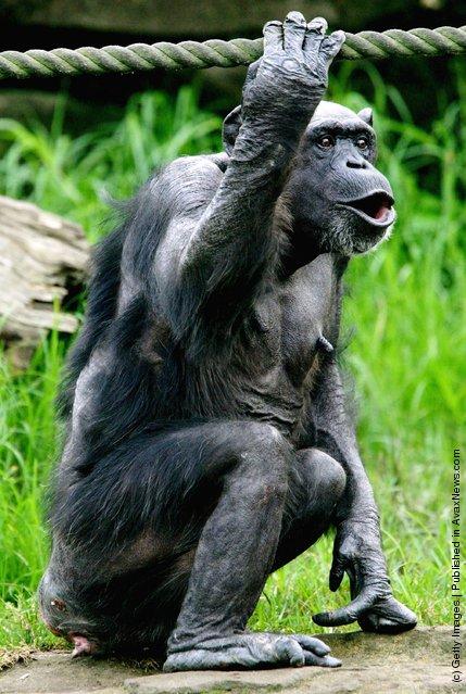 Female Chimpanzee Fifi sits in her enclosure at Taronga Zoo