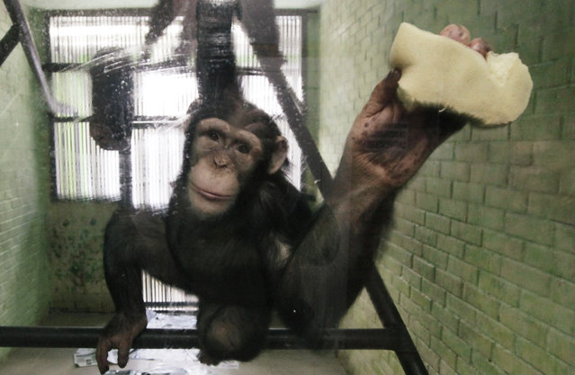 Anfisa, a 8-year-old female chimpanzee, washes a window of her enclosure where she lives with a male chimpanzee named Tikhon, at the Royev Ruchey zoo in Krasnoyarsk, Siberia, Russia January 29, 2013. (Photo by Ilya Naymushin/Reuters)