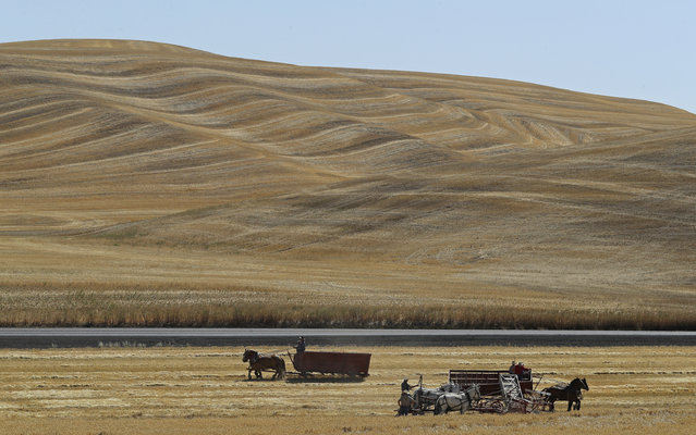 In this September 2, 2019 photo, teams of horses and mules are used to harvest barley on a field near Colfax, Wash., during an annual demonstration by members of the Palouse Empire Threshing Bee Association, a group dedicated to preserving the way land was farmed decades ago. (Photo by Ted S. Warren/AP Photo)