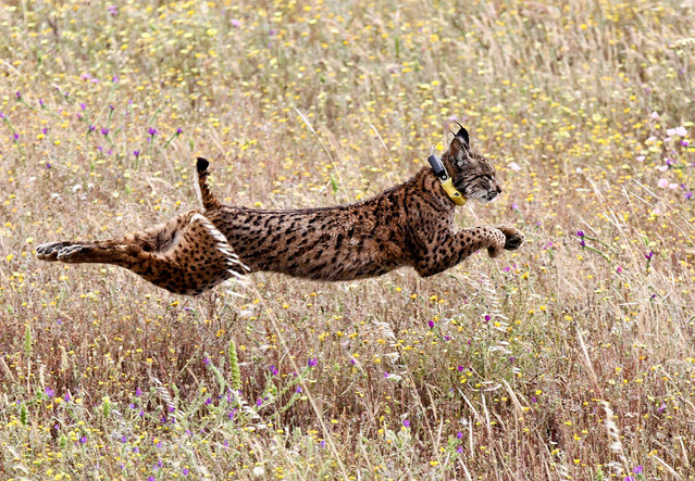 Iberian lynx Mistral jumps in a field after being released by Portugal's Minister of Environment Joao Matos Fernandes (unseen) and others in the Mount Milhouro (Herdade da Cela) region in Mertola, Portugal, 13 May 2016. Mistralis the 18th lynx bred in captivity released since late 2014. (Photo by Nuno Veiga/EPA)