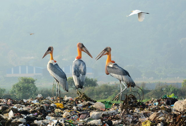 A flock of Adjutants storks sit on a garbage dump at Borgaon in Guwahati, Assam, India, 17 October 2019. Wildlife activists and environmentalists have protested in the past for shifting the garbage dump to another site since it is situated near the Deepor Beel Bird Sanctuary. (Photo by EPA/EFE/Stringer)