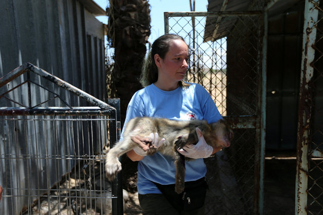 A member of FOUR PAWS International team returns a monkey to its enclosure after receiving treatment at a zoo in Khan Younis in the southern Gaza Strip June 10, 2016. (Photo by Ibraheem Abu Mustafa/Reuters)