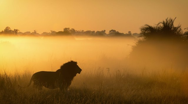 Lion at sunset. (Photo by Wim van den Heever/Caters News)