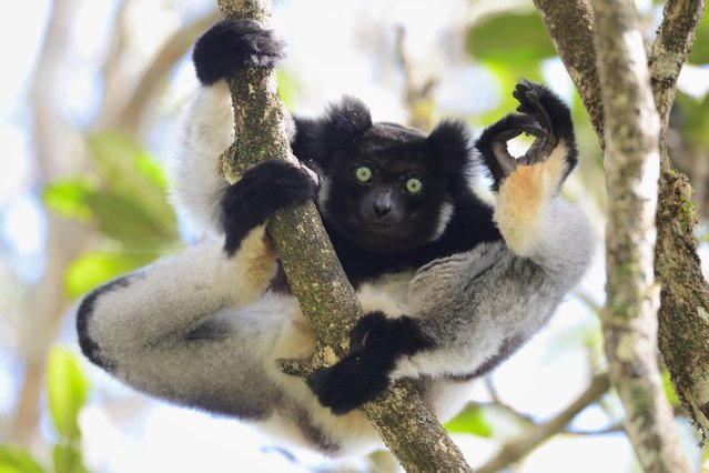 "An Indri flashes the A-OK sign in Yamamoto Tsuneo's ""I'm OK"", on July 25, 2012 in Analamazaotra Special Reserve, Madagascar. (Photo by Yamamoto Tsuneo/CWPA/Barcroft Images)"