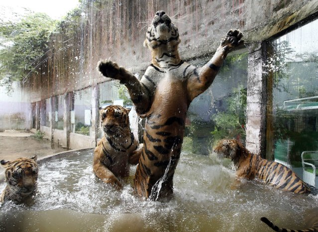 Bengal tigers play in a pool of water at the zoo in Malabon in Manila, on Jule 11, 2014. (Photo by Erik De Castro/Reuters)