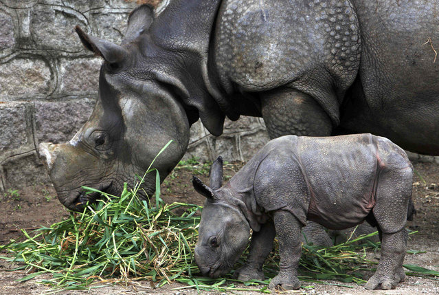 A five and half year-old rhino stands with her four day-old calf at an enclosure at the Nehru Zoological park in Hyderabad, India