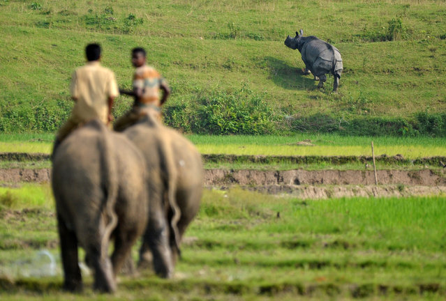 Forest guards chase away a rhino that strayed into a residential area after floods forced animals to escape the Kaziranga National park in Nagaon district, in the northeastern state of Assam, August 15, 2017. (Photo by Anuwar Hazarika/Reuters)