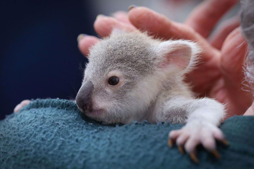 Orphaned Baby Koala