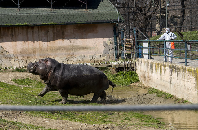 A worker desinfects next to a hippopotamus in a closed zoo in Skopje on March 17, 2020 amid spread of COVID-19, the novel coronavirus. The government has closed all land-based borders for foreign citizens and has also closed the two airports in the country, in Skopje and Ohrid. (Photo by Robert Atanasovski/AFP Photo)