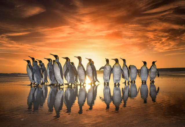 King Penguins marching during sunrise, Falkland Islands. (Photo by Wim van den Heever/Caters News)