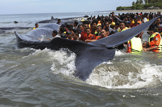 Rescuers attempt attempt to push stranded whales back into the ocean at Ujong Kareng beach in Aceh province, Indonesia, Monday, November 13, 2017. (Photo by AP Photo/Zulkarnaini)