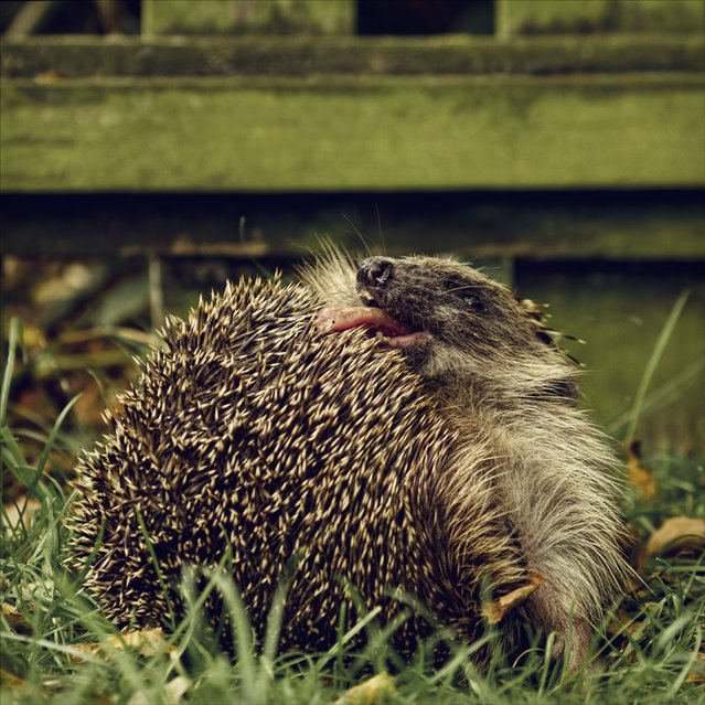 Licking the prickles.