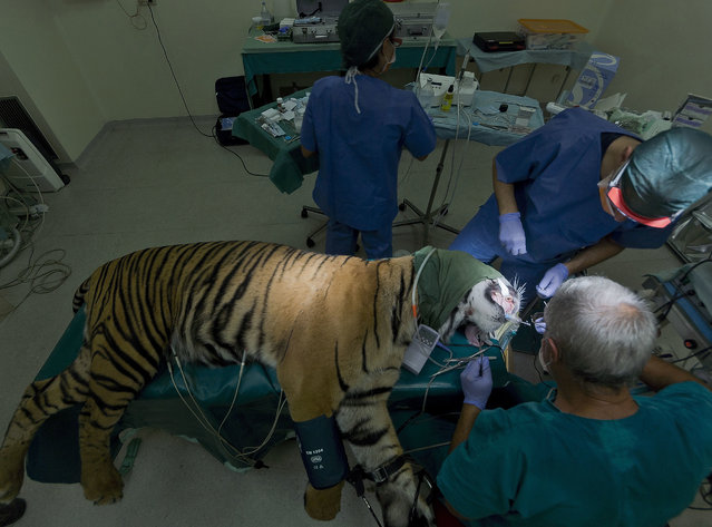 Kashi, a 2-year-old male Sumatran tiger of the Rome zoo, receives tooth surgery in the zoo's Veterinary Clinic in Rome, Wednesday, August 31, 2016. Kashi, a young male suffering from pulp infection following the cracking of a canine tooth, received root canal therapy by dental surgeon Francesco Talini, right, and his team. (Photo by Domenico Stinellis/AP Photo)