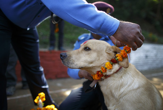 A police officer puts a garland on a police dog during the dog festival as part of celebrations of Tihar at Nepal Police Academy in Kathmandu October 22, 2014. Hindus all over Nepal are celebrating the Tihar festival, also called Diwali, during which they worship cows, which are considered a maternal figure, and other animals. (Photo by Navesh Chitrakar/Reuters)