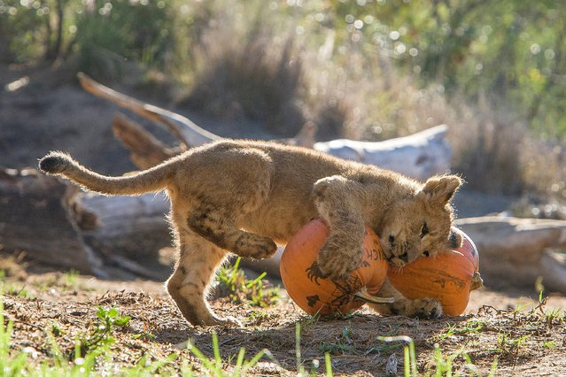 This photo provided by the San Diego Zoo Safari Park shows four-month old African lion cub Ernest plays with a pumpkin at the San Diego Zoo Safari Park in San Diego, Calif. on Wednesday, October 29, 2014. Staff at the zoo  set out pumpkins for the lion pride as a special Halloween treat. (Photo by Tammy Spratt/AP Photo/San Diego Zoo)