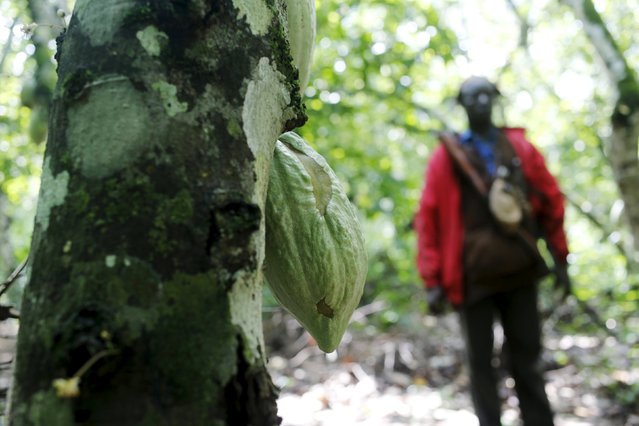An agent of the OIPR, one of the government agencies charged with managing protected land, stands next to a cocoa tree inside Mont Peko National Park in Duekoue department, western Ivory Coast August 18, 2015. (Photo by Luc Gnago/Reuters)
