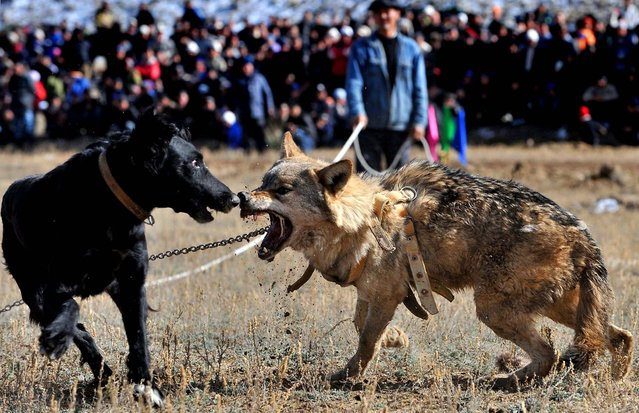 A chained wolf retaliates against a dog during a traditional hunting festival in the Kyrgyz village of Bokonbayevo. (Photo by Vyacheslav Oseledko/AFP Photo)