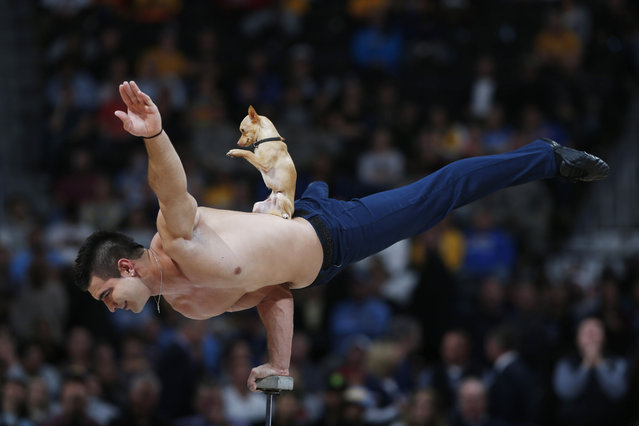 Hand balancer Christian Stoinev performs with his dog, Scooby, on his back during halftime of the Cleveland Cavaliers' 110-101 victory over the Denver Nuggets in an NBA basketball game in Denver on Friday, November 7, 2014. (Photo by David Zalubowski/AP Photo)