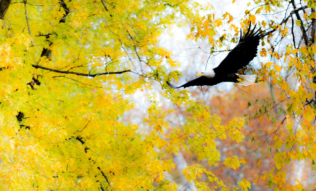 An eagle flies past trees changing color along the Walkill River near New Paltz, New York on Saturday, October 24, 2015. (Photo by David Handschuh)