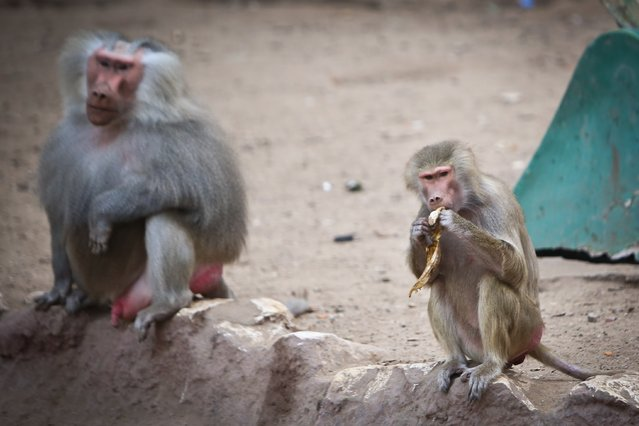 Hamadrya baboons rest inside an enclosure at the Giza zoo in Cairo on December 10, 2014. Khedive Ismail, the ruler of Egypt from 1863-1879, built the zoo and planned the opening to coincide with the inauguration of the Suez Canal in 1869 but was not able to do so in time.  On March 1, 1891, the zoo was officially opened for the public covering an area of 80 acres, and in the mid twentieth century it was  considered one of the best zoos in the world. (Photo by Mohamed El-Shahed/AFP Photo)