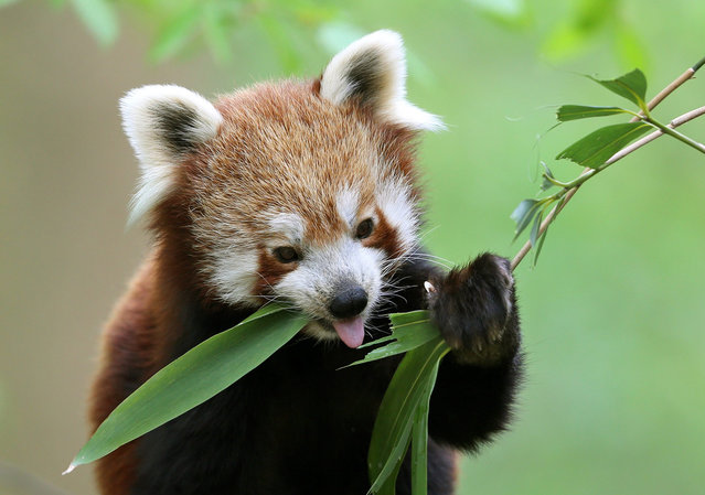 A red panda eats the leaves of a bamboo plant at the Zoo in Krefeld, Germany, 29 April 2013. (Photo by Roland Weihrauch/EPA)