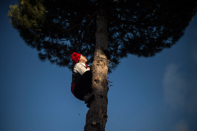 """A """"Galejador"""" climbs the selected pine up during 'La Festa del Pi' (The Festival of the Pine) in the village of Centelles on December 30, 2014 in Barcelona, Spain. Early in the morning men and women born in Centelles, who are named """"Galejadors"""" wear their traditional costume with the Catalan red hat known as """"Barretina"""" and carry their shooting muskets as they walk into the forest to chop down a pine tree, load it on an ox cart and take it to the church in the village. (Photo by David Ramos/Getty Images)"""