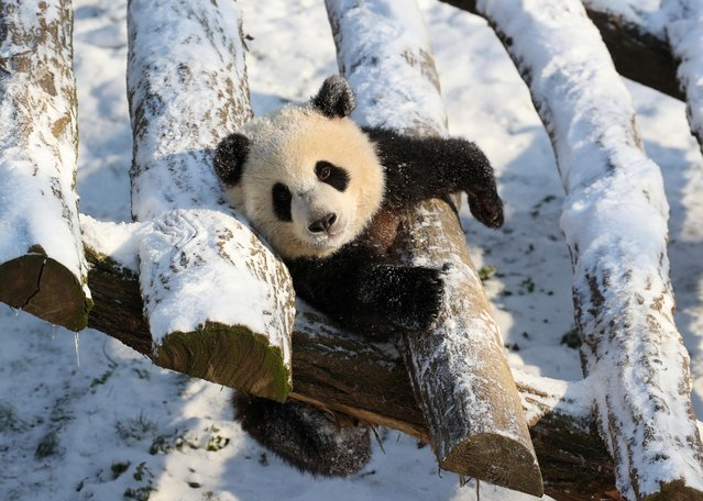One of the two eighteen-month-old twin pandas plays in snow at Pairi Daiza zoo in Brugelette, Belgium, February 9, 2021. (Photo by Yves Herman/Reuters)