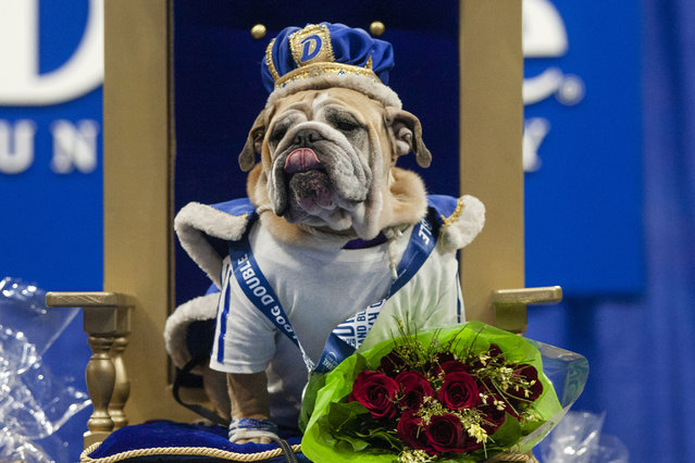 Myrtle Mae is named winner of the Beautiful Bulldog contest at Drake University's Knapp Center in Iowa on April 18, 2021. Twenty-one English bulldogs competed for the title. (Photo by Olivia Sun/AP Photo)