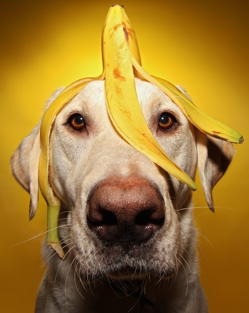 Winston with a banana on his head during one of his portraits. (Photo by Scott Cromwell/Caters News)