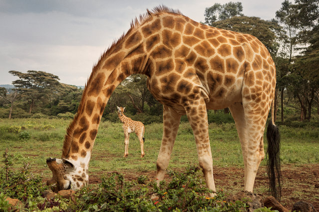 Rothschild giraffe are one of the most endangered giraffe subspecies, with only a few hundred left in the wild. There are more Rothschild giraffes kept in zoos than left in the wild. (Photo by Klaus Thymann)